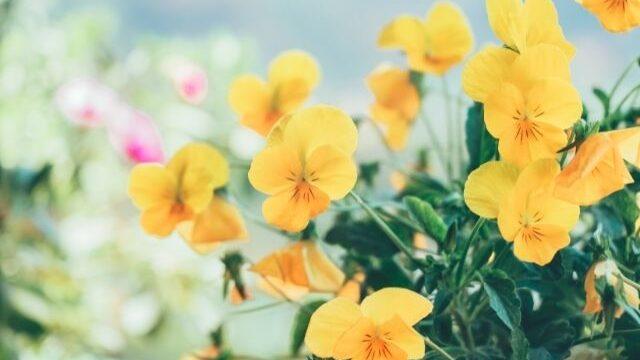 黄色い小さな花達